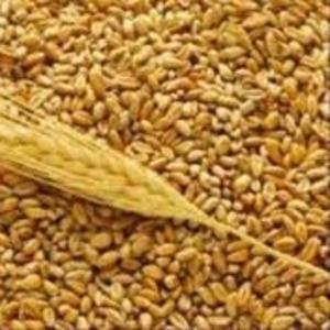 Продаем пшеницу продовольственную,  ячмень фуражный и тритикале феражн