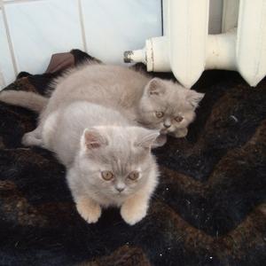 Британские короткошерстныя котята