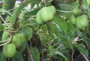 Продам актинидию-многолетняя лиана, ягода будущего
